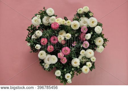 Ranunculus Flower Pink And White On Pink Background.buttercup Flowers.flower Heart. Ranunculus Flowe