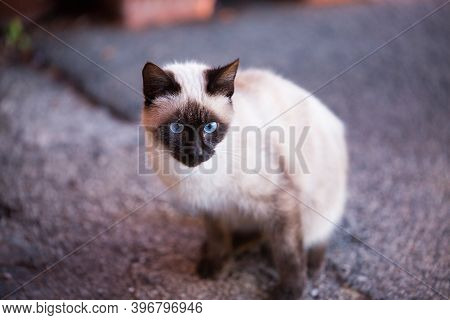 Blue Eye Seam Cat Looking For Food Outdoors. Confident Glance Straight Forward. Coffee Face. Abandon