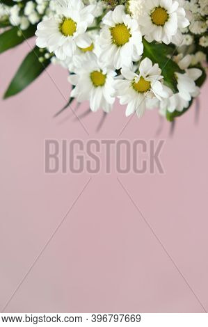 Chamomile Flowers. White Daisies Close-up On A Pink Background. Floral Greeting Card Blank. Copy Spa