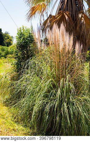 Pampas Grass Or Cortaderia Selloana Or Cortaderia Cello Or Cortaderia Dioecious In Natural Decoratio