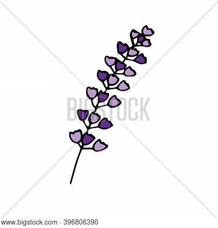 Sprig Of Lavender, Vector Illustration, Hand Drawing Colored