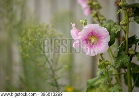 Closeup Of A Common Hollyhock (alcea Rosea, Malvaceae) In Summer In France