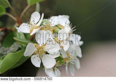 Pear Tree, Pyrus Communis, Variety Beech Hill Flowers At The End Of A Tree Branch With A Blurred Bac