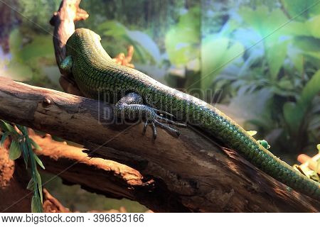 Skinks (scincidae) Are Family Of Lizards. Lamprolepis Smaragdina. Emerald Skink Backview