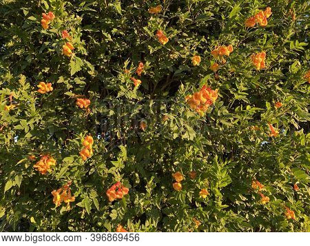 Orange And Yellow Trumpet Vines Blossoms Flowers Hedge Bush With Green Leaves And Sunny Highlights I