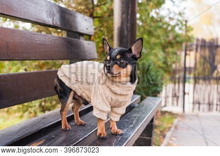Pet Dog Chihuahua Walks On The Street. Chihuahua Dog For A Walk. Chihuahua Black, Brown And White. C