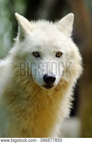 The Arctic Wolf (canis Lupus Arctos), Also Known As The Melville Island Wolf Portrait.portrait Of A
