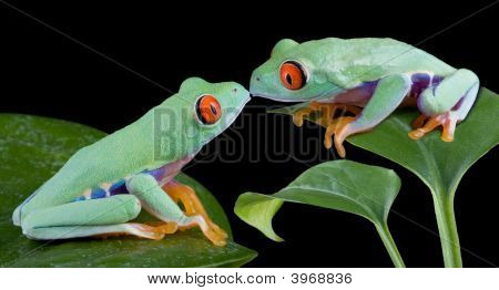 Kissing Tree Frogs