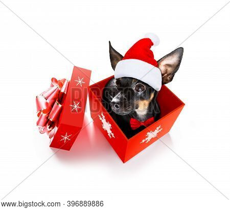 Christmas Santa Claus Praguer Ratter Dog As A Holiday Season Surprise Out Of A Gift Or Present Box