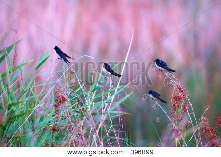 Swallows At Dawn