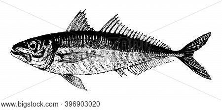 Horse Mackerel, Fish Collection. Healthy Lifestyle, Delicious Food. Hand-drawn Images, Black And Whi