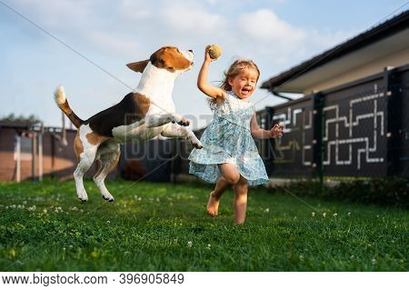 Adorable Baby Girl Runs Together With Beagle Dog In Backyard On Summer Day. Domestic Animal With Chi