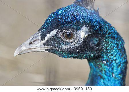 Side of Peacock Head