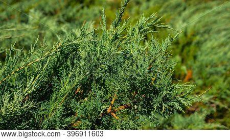 Spruce Bush, Landscape With Greenery, Green Bush Close-up