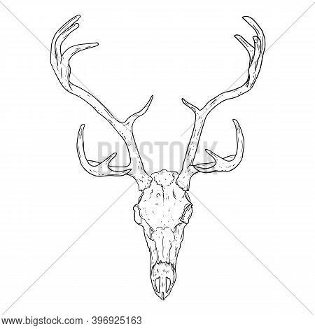 Deer Fossilized Skull Hand Drawn Sketch Image. Horned Artiodactyl Animal Bones Fossil Illustration D