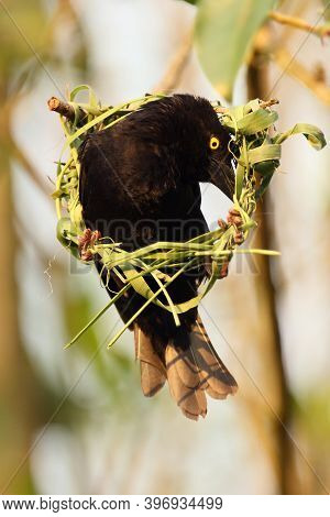 The Vieillot's Black Weaver (ploceus Nigerrimus) Sits At The Nest. A Large Black Weaver With A Yello