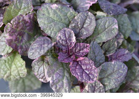 Bugle Burgundy Glow - Latin Name - Ajuga Reptans Burgundy Glow