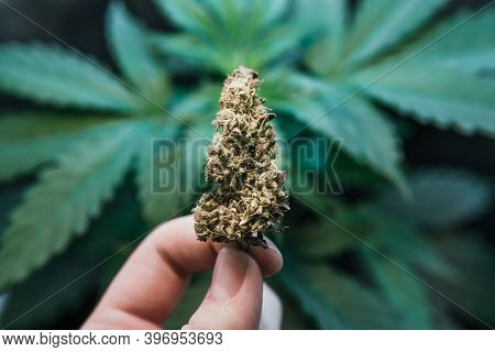 Light Leaks Hemp Marijuana Cbd, Grow Marijuana Leaves On Light, Cultivation Cannabis, Marijuana Lega