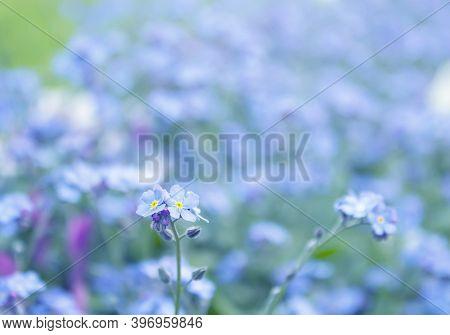 Field Of Forget-me-not (myosotis Arvensis) Flowers, Summer Or Spring Nature Background.
