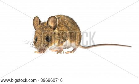 Guilty Looking Wood Mouse (apodemus Sylvaticus) Isolated On White Background. This Cute Looking Mous