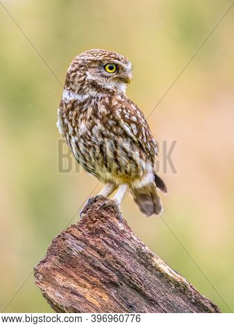 Little Owl (athene Noctua) Nocturnal Bird Perched On Log With Bright Background And Looking To Side