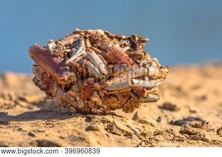 Vomit Ball Or Pellet Of Gull With Parts Of Freshwater Crayfish On The Shore Of Reservoir In Spain