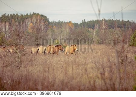 Group Of Wild Przewalskis Horses In The Chernobyl Exclusion Zone Grazing In The Autumn
