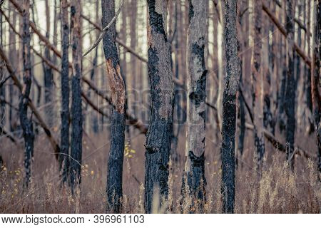 Mysterious Trees Adored By Radiation. Red Forest. Pripyat City In Chernobyl Exclusion Zone, Ukraine
