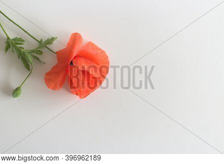 Flower Red Poppie And Buds Papaver Rhoeas, Common Names: Corn Poppy, Corn Rose, Field Poppy, Red Wee