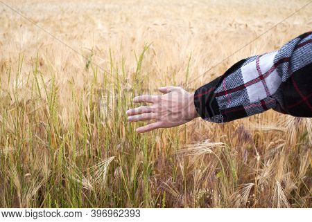 A Man With His Back To The Viewer In A Wheat Field Touched By A Hand Of Wheat Sprouts. The Farmer Wa