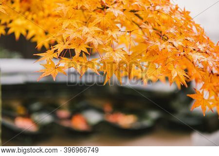 Autumn Colorful Red Maple Leaf With Branch In Park. Red Yellow Fall Maple Leaves With Golden Sunligh