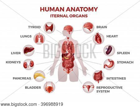 Body Internal Organs. Woman Body Anatomy With Stomach And Kidneys, Heart And Liver Or Lungs. Isolate