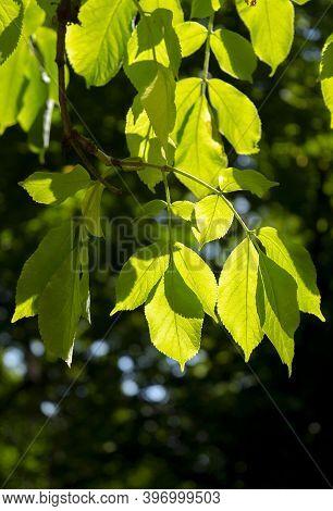 Green Leaves Of A Acer Negundo Tree (box Elder Or Ashleaf Maple).acer Negundo Branch.
