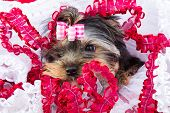 Lovely puppy of Yorkshire terrier with pink bow lying on red and white chiffon pillow poster