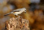 Tufted Titmouse (baeolophus bicolor) on a stump with autumn colors poster