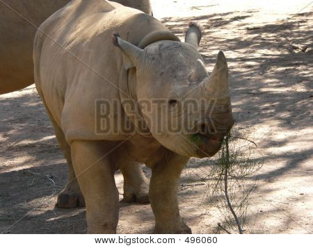 young male rhino poster