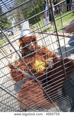Ucla Animal Rights Activist In Orangutan Suit