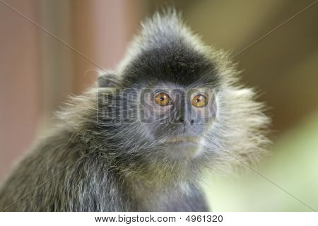 A silver leaf monkey in the mangrove Kota Kinabalu poster