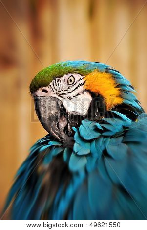 Parrot Portrait of a beautiful blue and gold Macaw