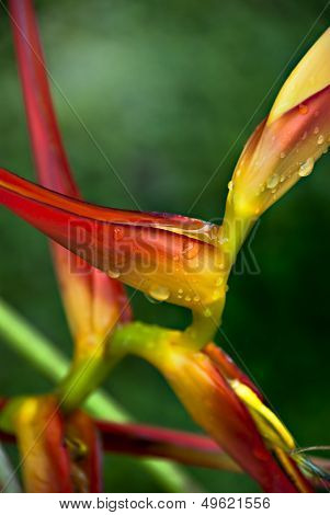 Heliconia Bentham - beautiful colour tropical flower after rain
