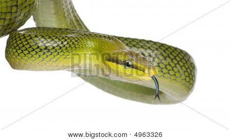 Red-tailed Green Ratsnake - Gonyosoma oxycephalum in front of a white background poster