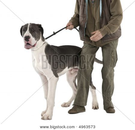 Great Dane puppy on a leash (6 months old) in front of a white background poster