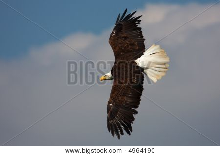 American Bald Eagle in flight against a blue sky with grey and white clouds poster