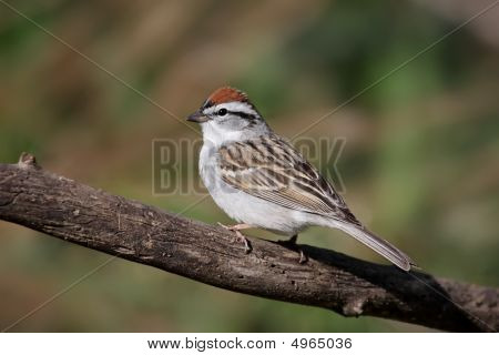 Sparrow On A Branch In Spring