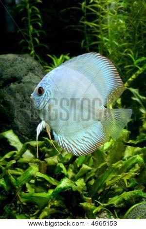 Blue Diamond Discus Fish