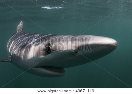 The Blue Shark, Prionace Glauca