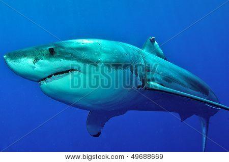 giant white shark