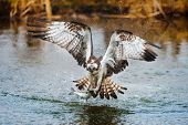 Osprey catching a fish from a pond poster