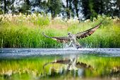 Osprey rising from a lake after catching a fish with wings spread wide poster
