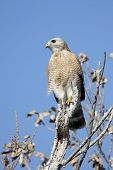 Red-shouldered Hawk (Buteo lineatus) in a tree in the Florida Everglades poster
